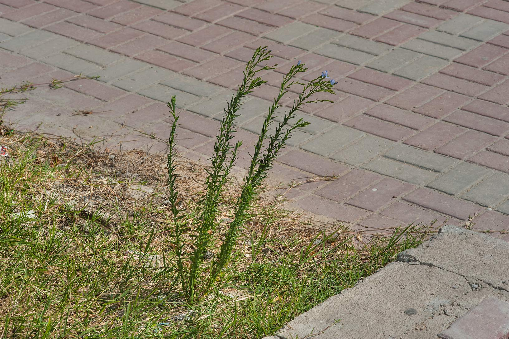 Flax (Linum usitatissimum) growing on waste spot...St. in Onaiza area. Doha, Qatar