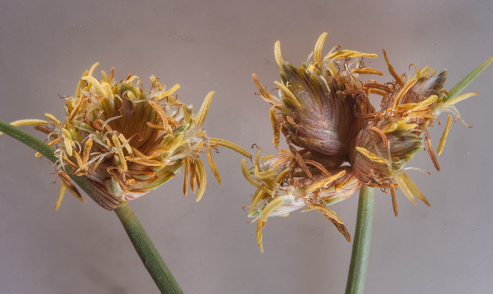 Sedge (Cyperus conglomeratus) in area of Jabal Al Jassasiya, on north-eastern coast. Qatar