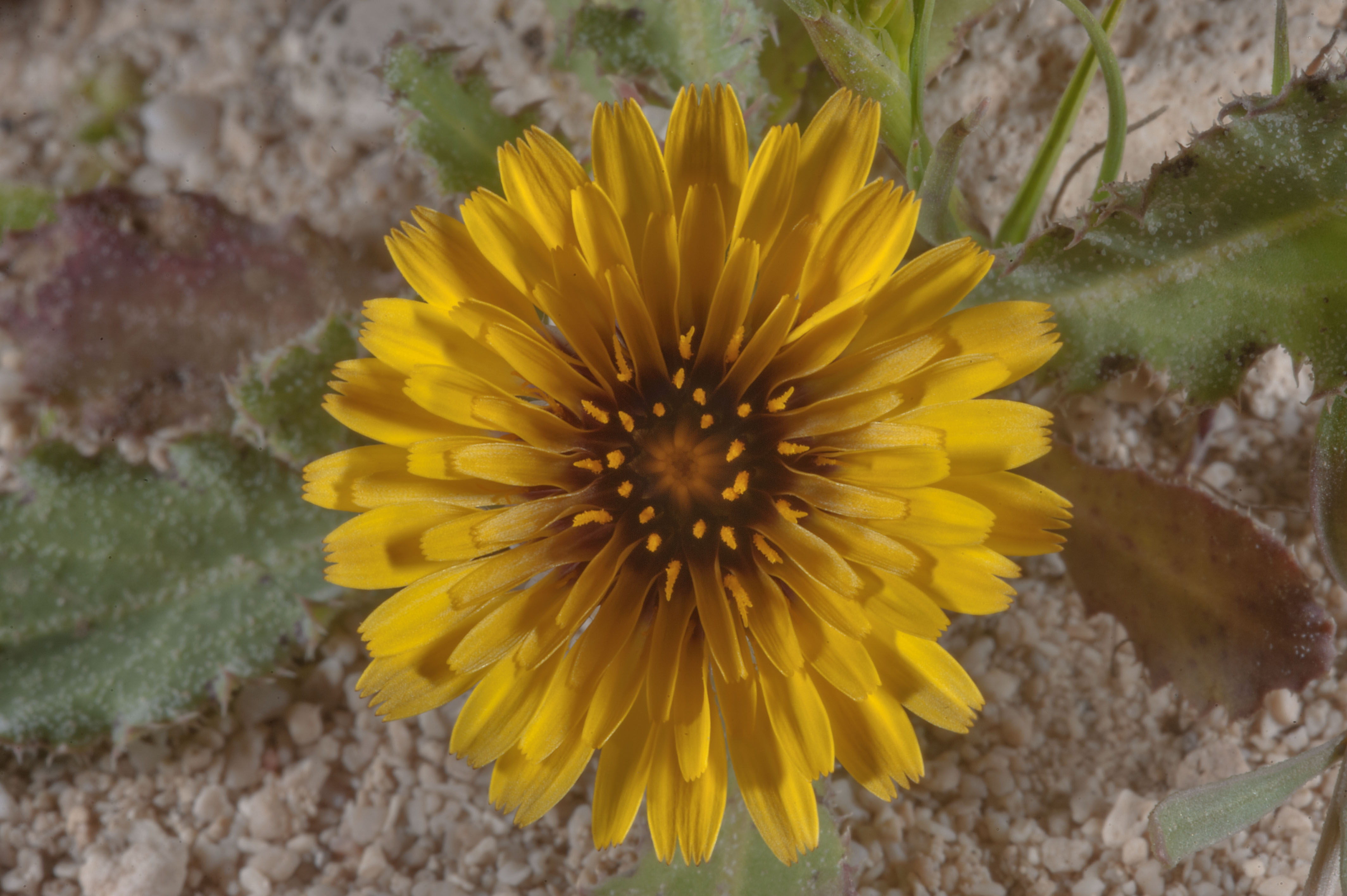 Photo 1753 02 Close Up Of Yellow Flower With A Dark Center Ofon