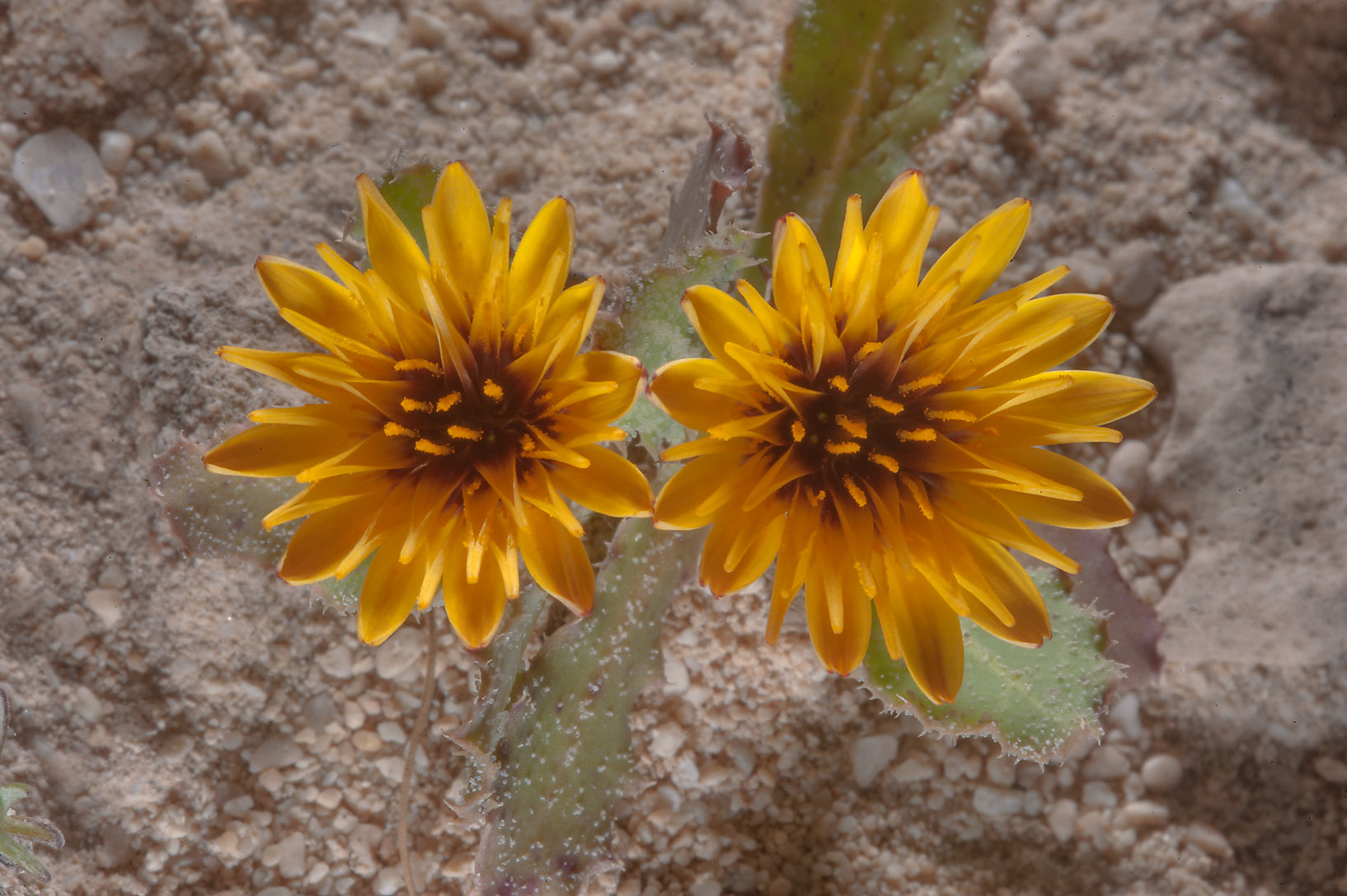 Pare of flowers of false sowthistle (Reichardia...on north-eastern coast. Qatar