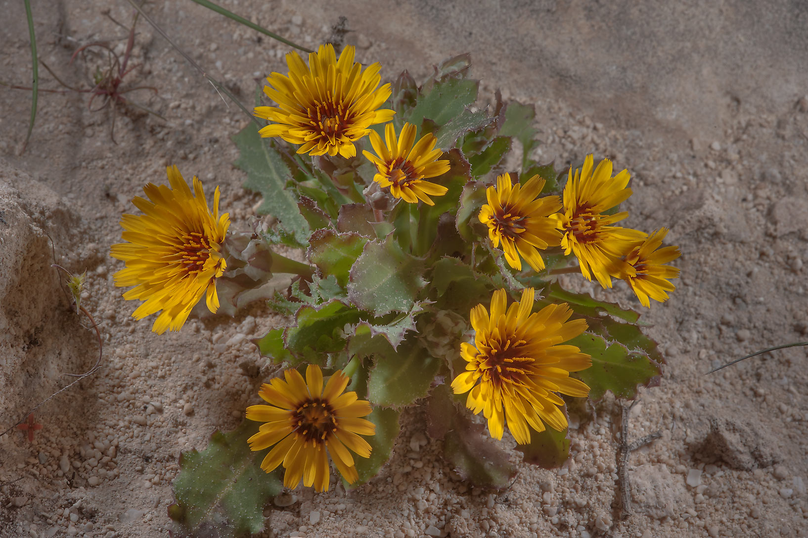Cluster of flowers of false sowthistle...on north-eastern coast. Qatar
