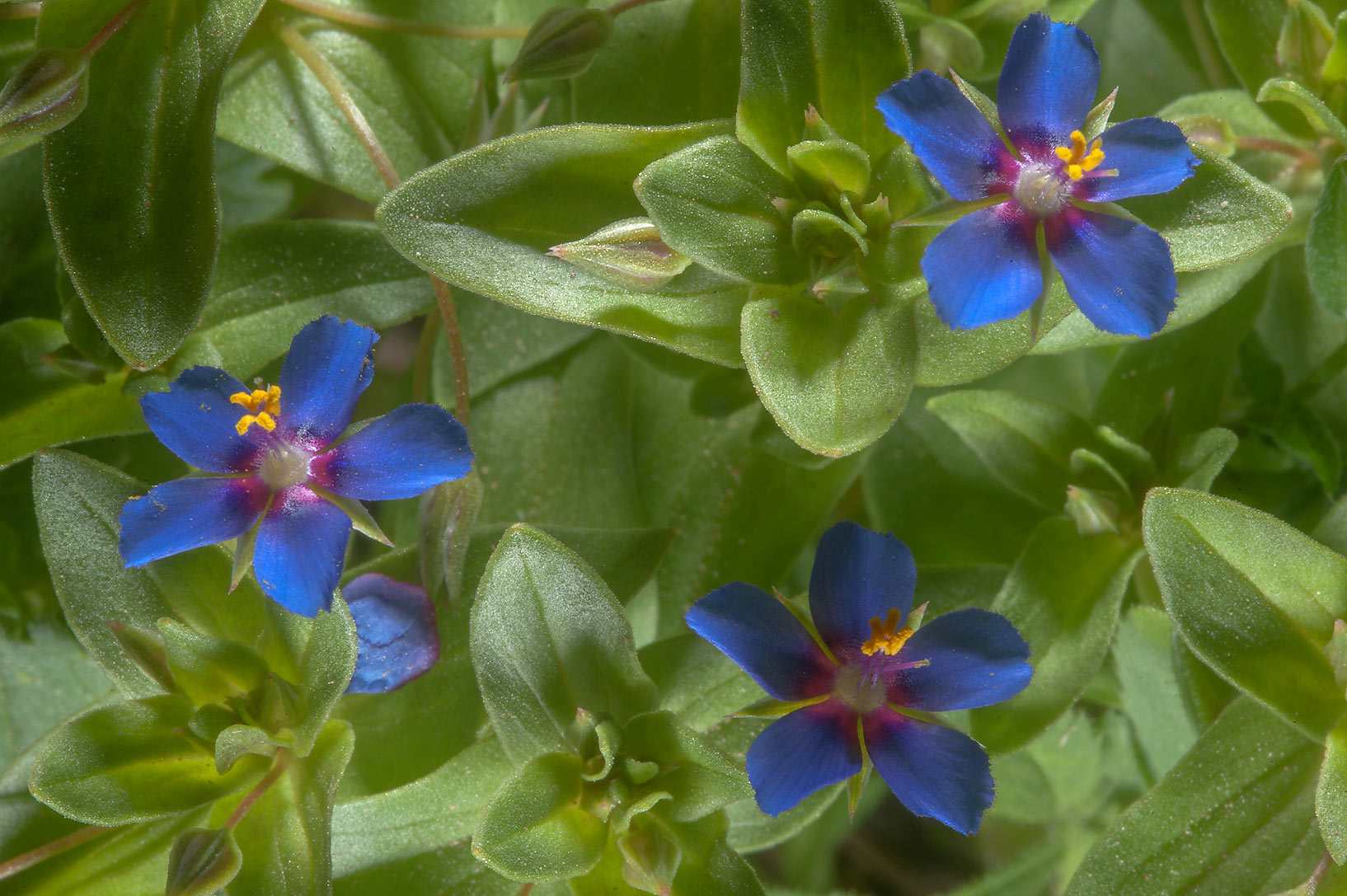 Blue flowers of scarlet pimpernel (Anagallis...Farms, on north-eastern coast. Qatar