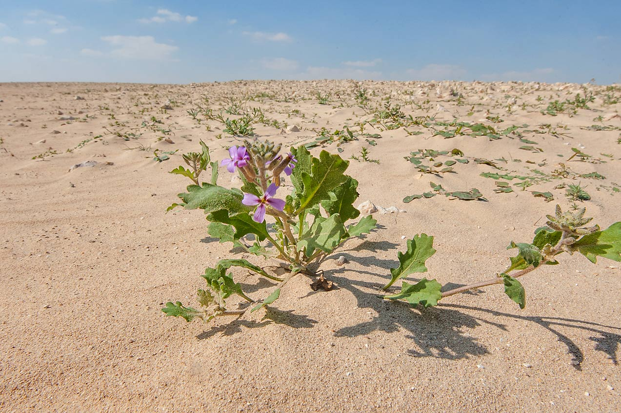 Khozama plant (Horwoodia dicksoniae) on gravel...area north from Al Khor. Qatar