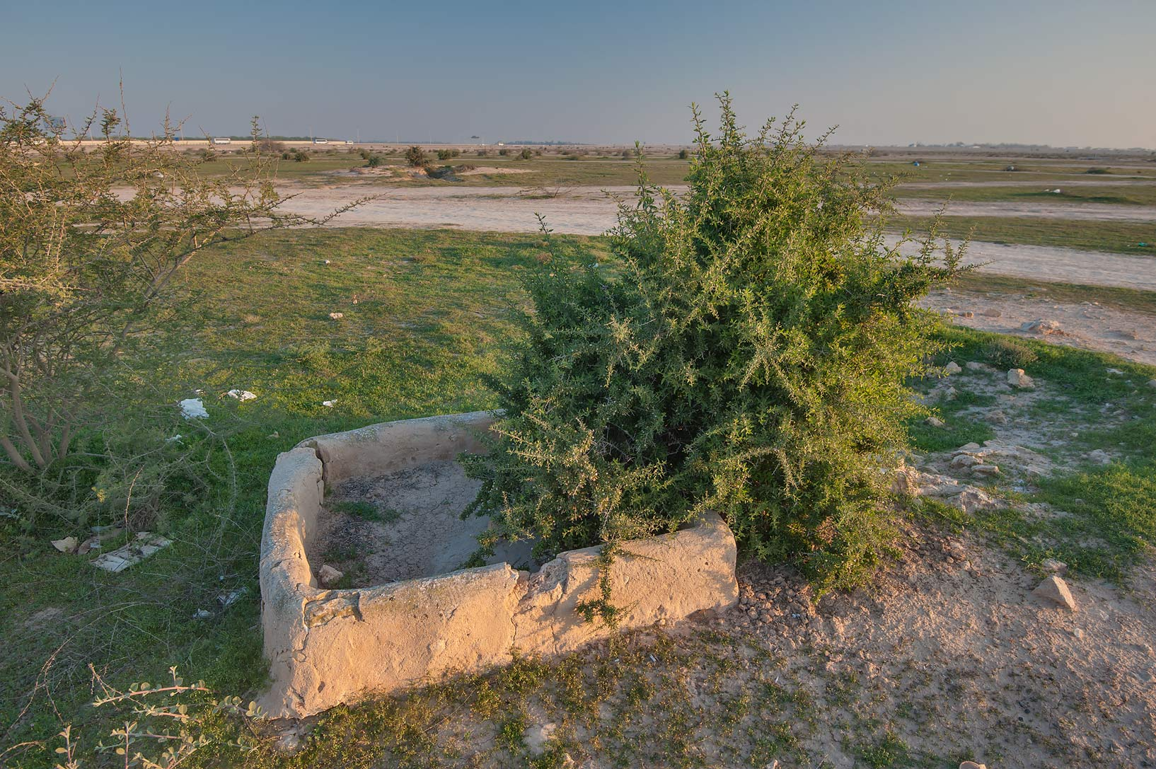 Bush of desert thorn Lycium shawii near Uwaynat...Water Well) near Simaisma. Qatar