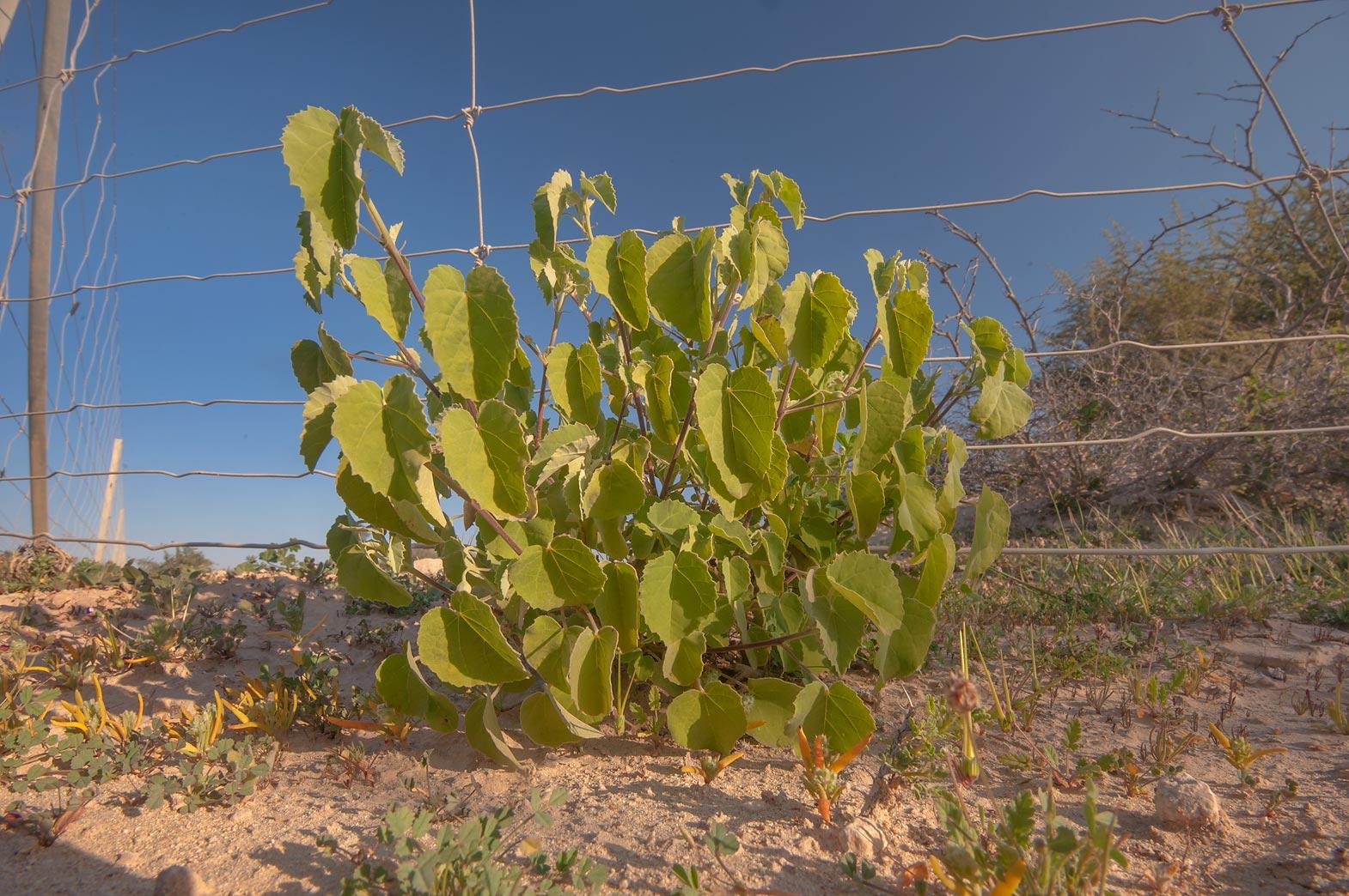 photo 173205 texas indianmallow abutilon fruticosum