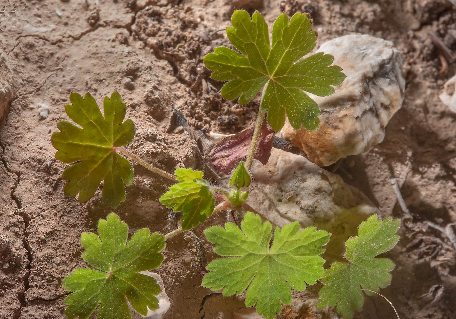 Seedling of black-eyed geranium (Geranium...of Al Magdah farms. Northern Qatar