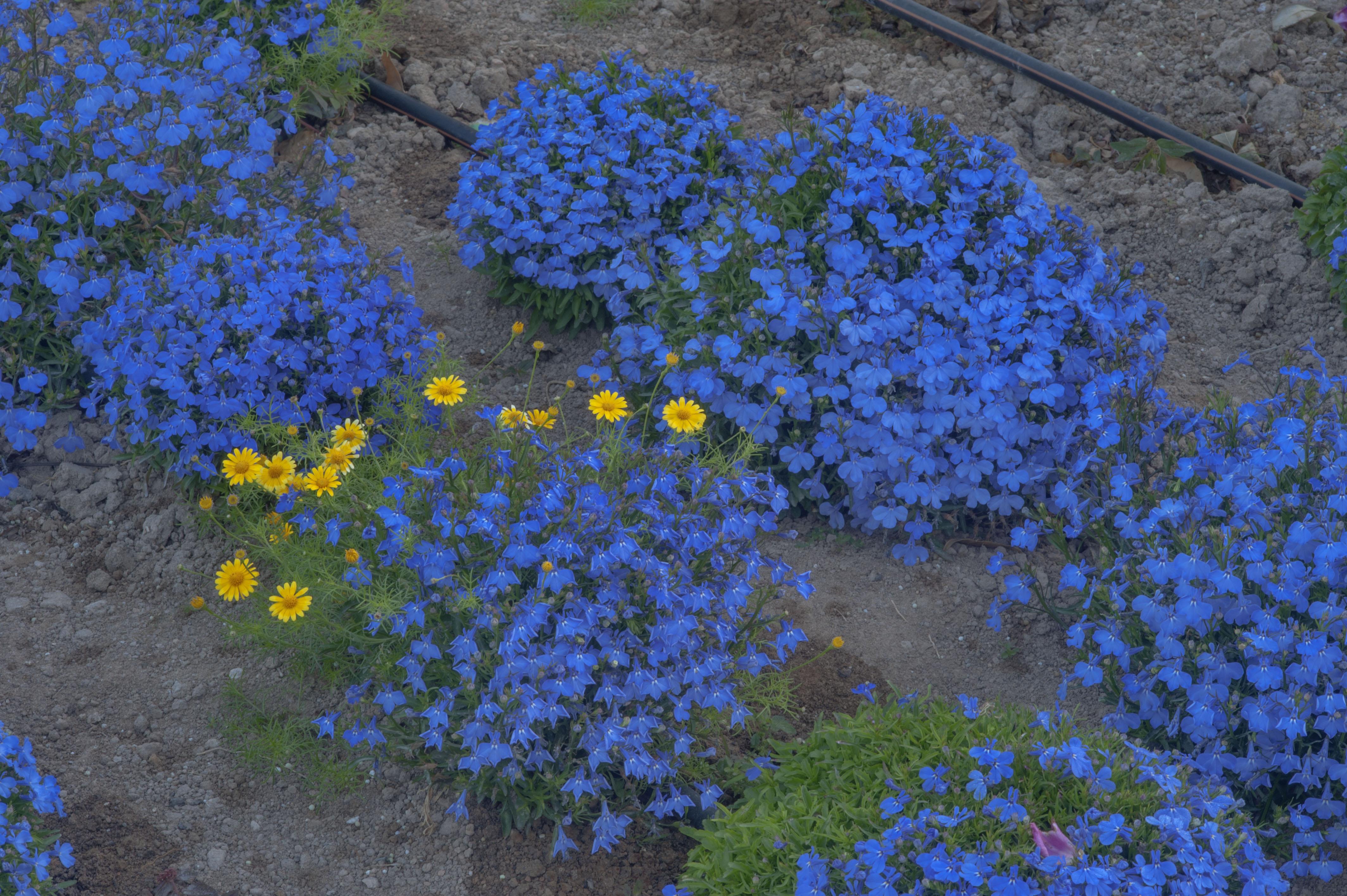 Lobelia Erinus Flora Of Qatar