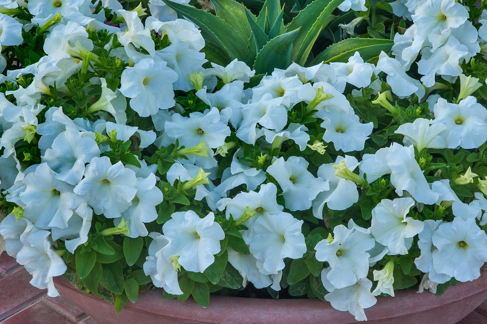 Photo 1755 24 White Petunia Flowers In A Park At Al Rafiei St In