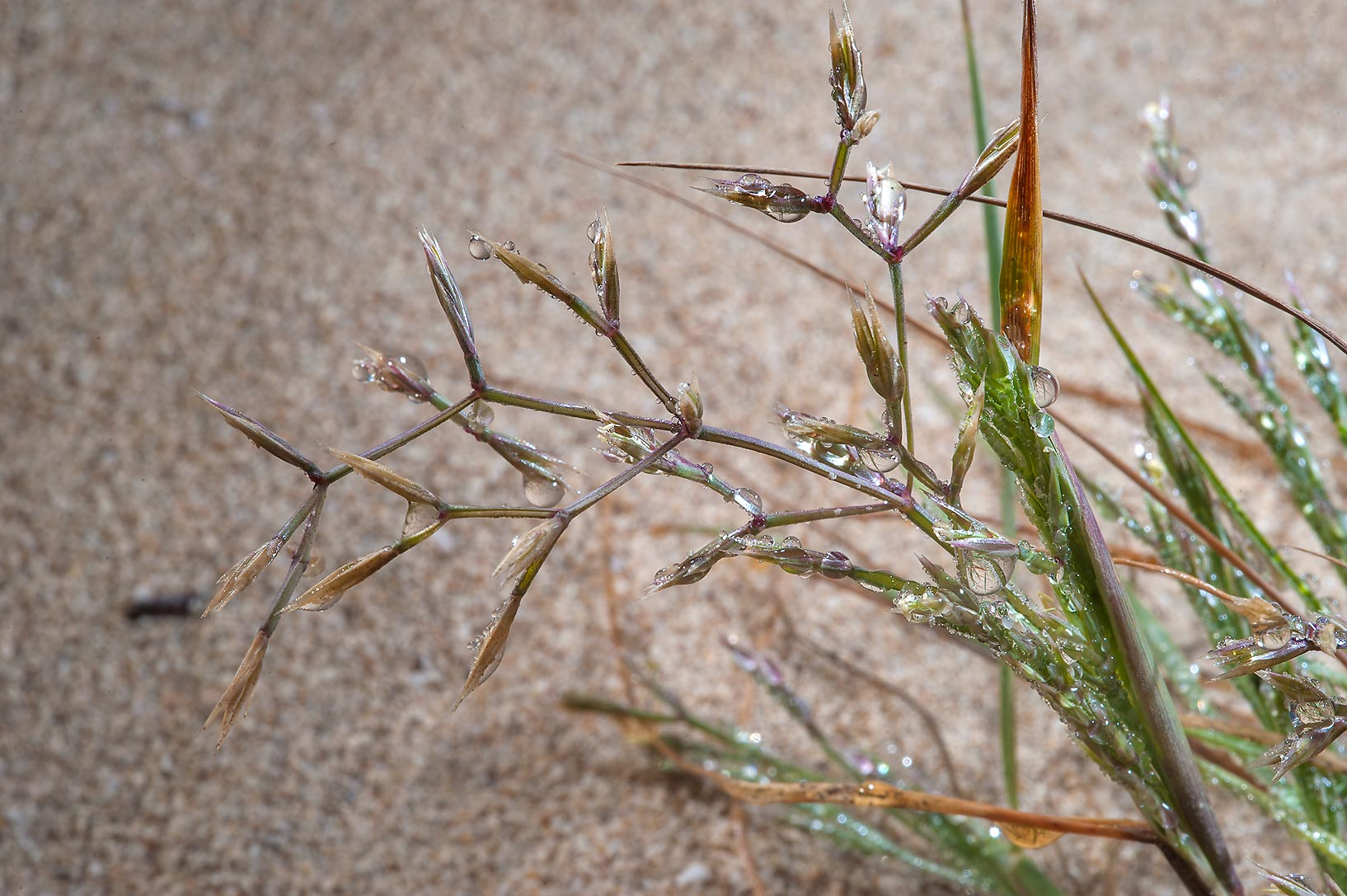 Spikelets of grass Cutandia memphitica in dew on...of Jebel Fuwairit. Northern Qatar