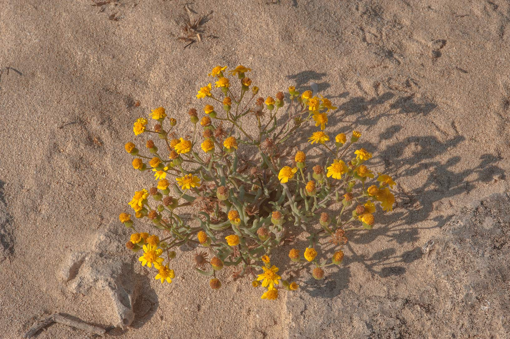 Buck's horn groundsel (Senecio glaucus, mureer...of Jebel Fuwairit. Northern Qatar