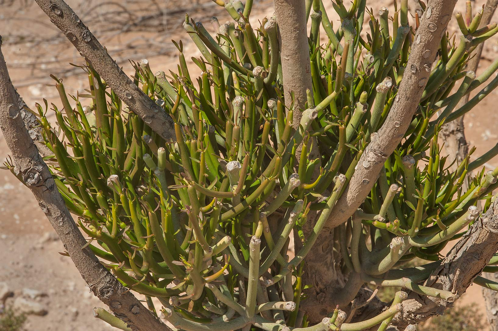 Shoots of Pencil tree (Euphorbia tirucalli) in...Ras Laffan farms. North-eastern Qatar