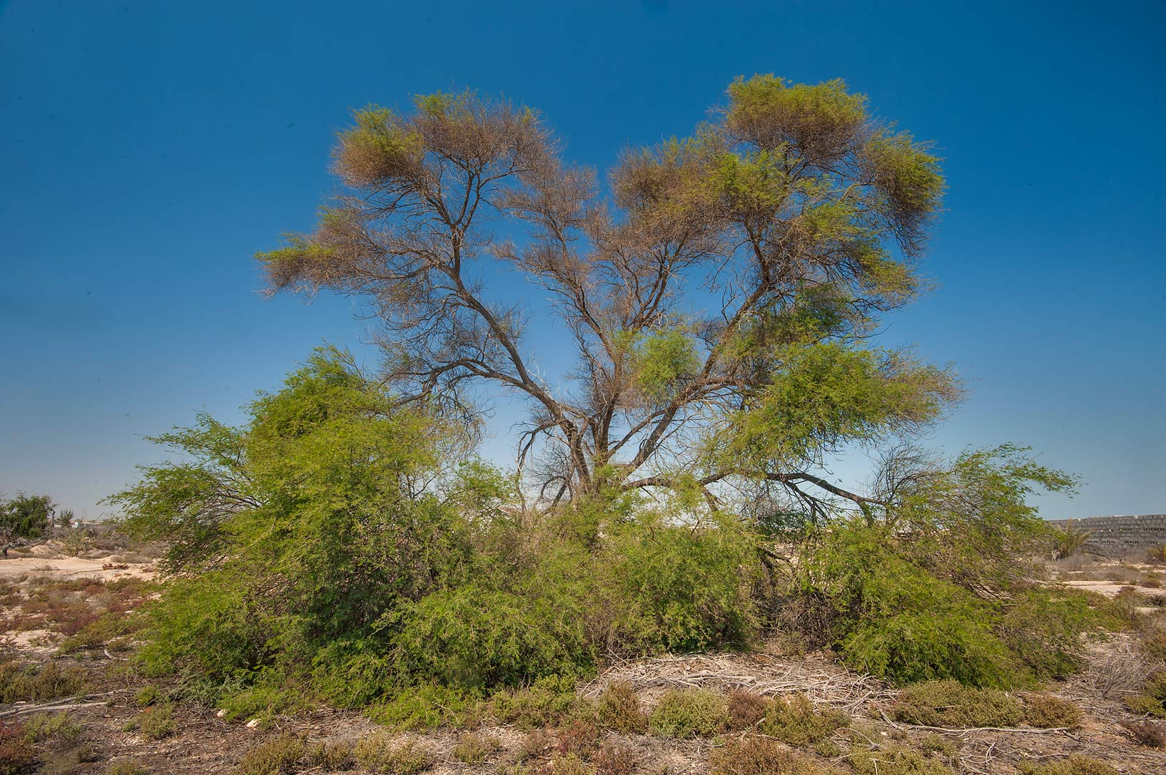 Large gum arabic tree (babul, Vachellia nilotica...Ras Laffan farms. North-eastern Qatar