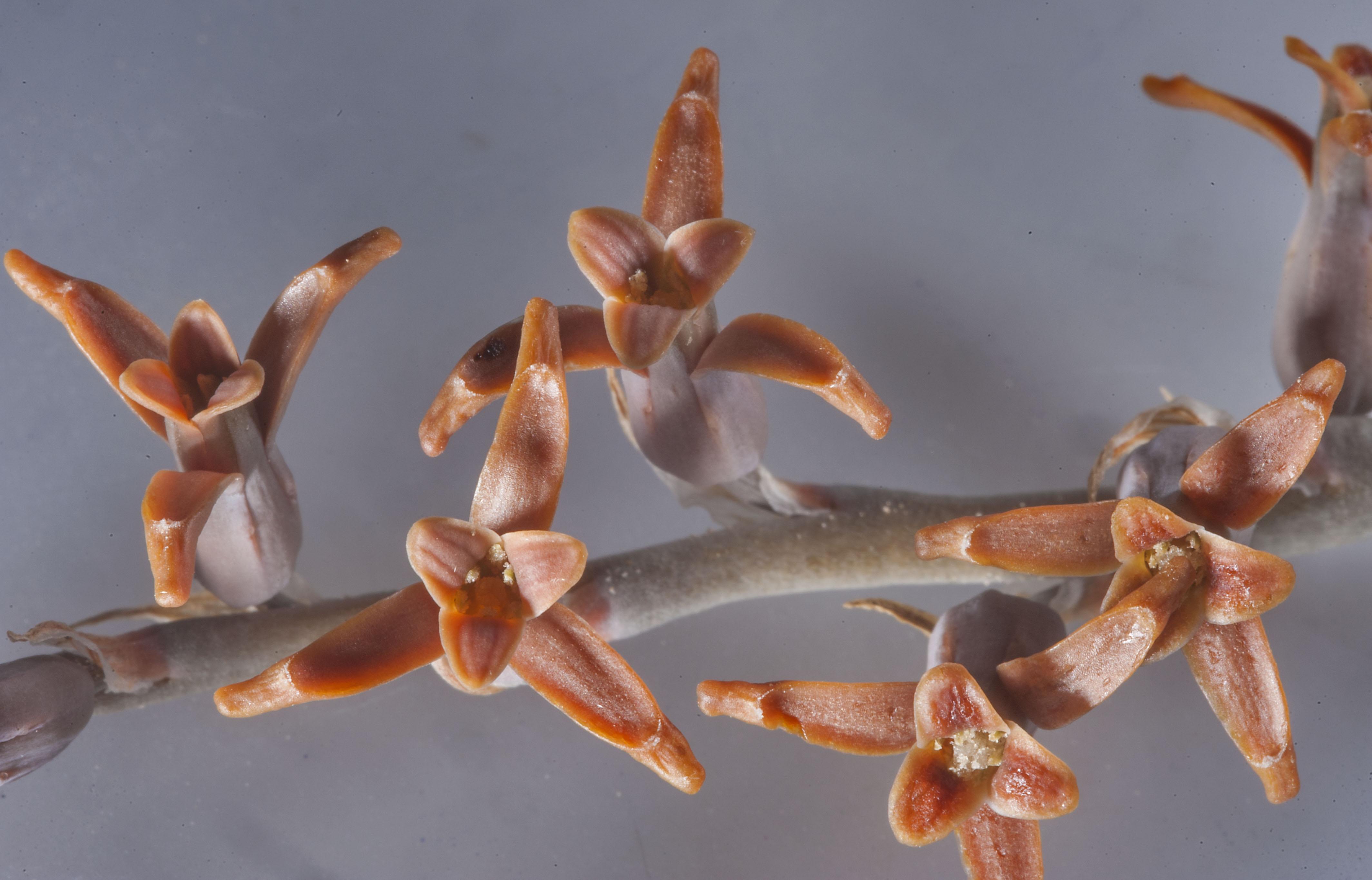 Photo 1758 18 flowers of brown lily dipcadi erythraeum local x large image izmirmasajfo