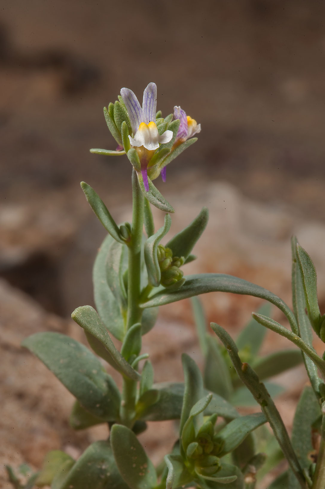 Plant of Linaria albifrons with a flower on...from Ras Laffan. North-eastern Qatar