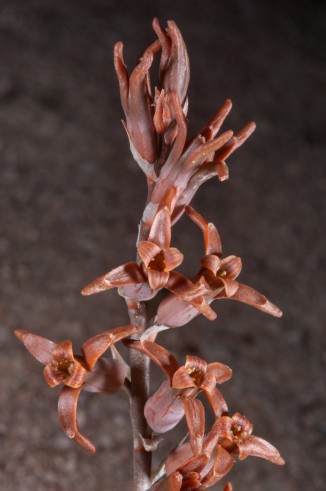 Brown lily (Dipcadi erythraeum, local names...Jarra north-east from Dukhan. Qatar