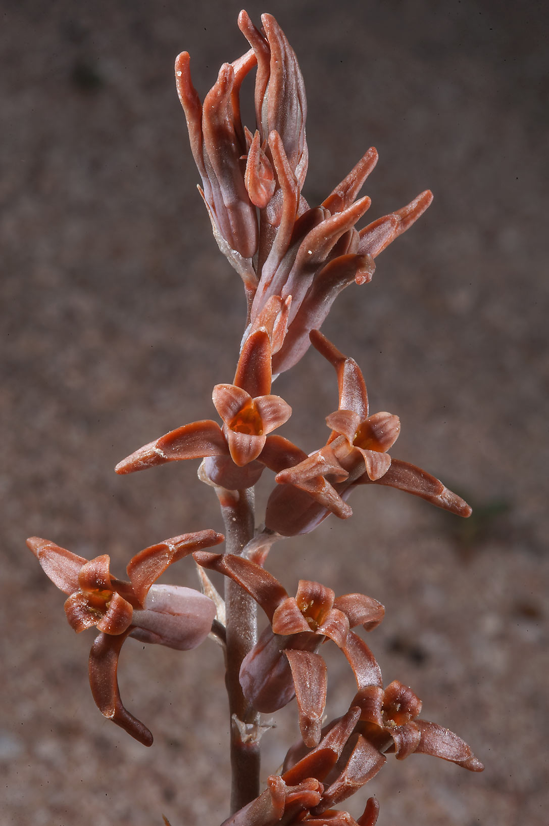 Inflorescence of brown lily (Dipcadi erythraeum...Jarra north-east from Dukhan. Qatar