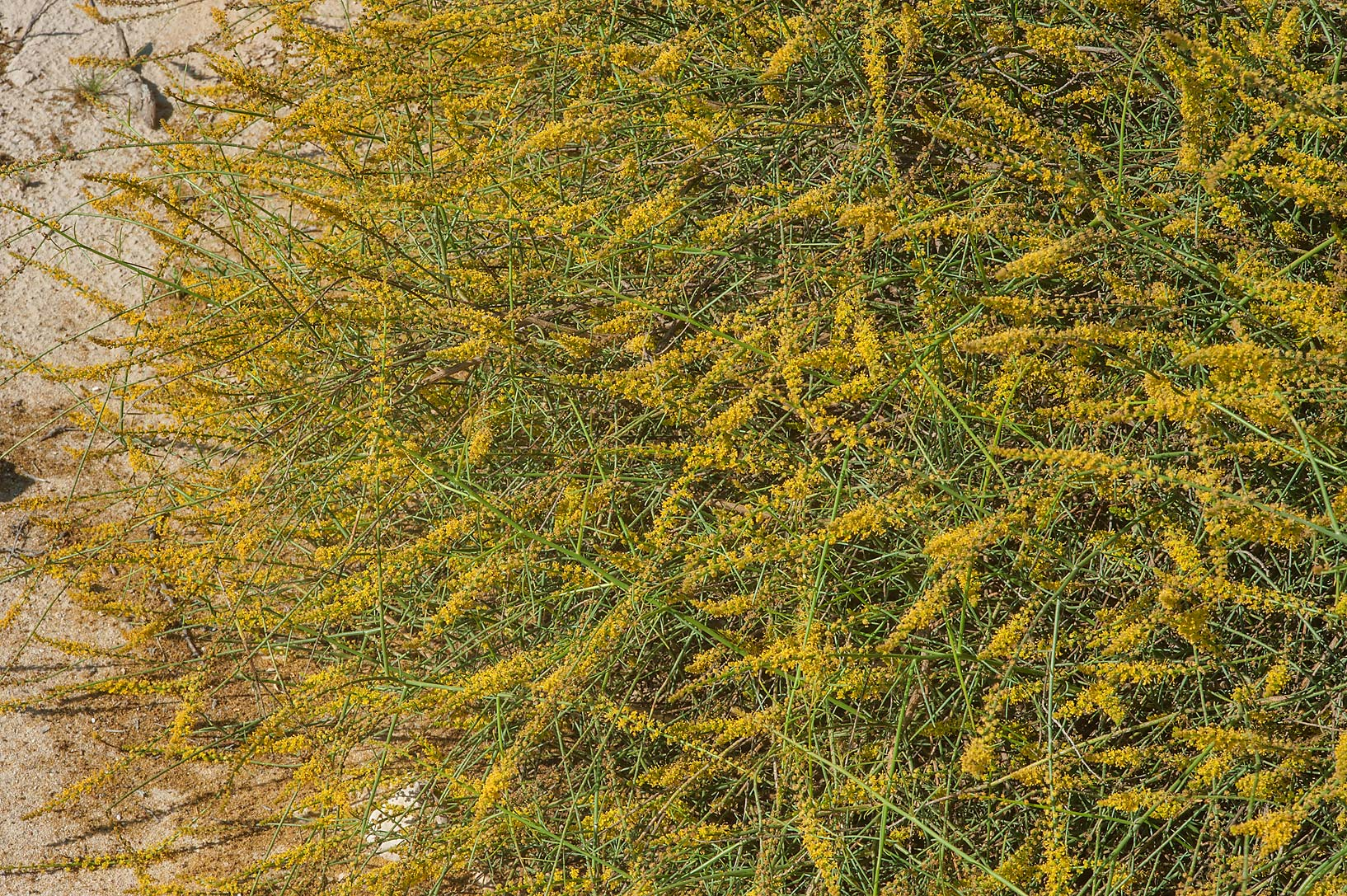 Bush of Ochradenus baccatus (local names qardi...in a runnel north from Dukhan. Qatar