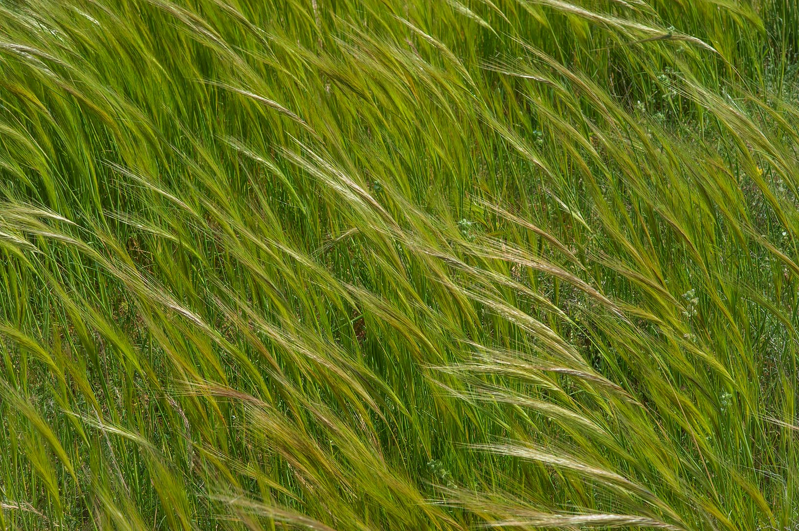 Spear grass (Stipa capensis) in a roadside depression of Khawzan Rd.. Qatar