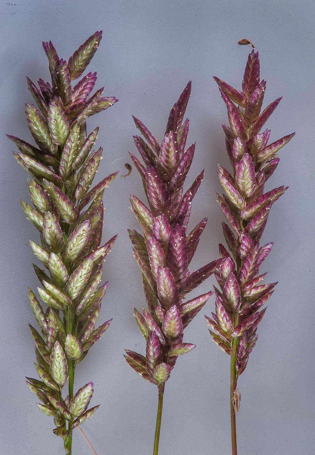 photo 176905 candy grass eragrostis cilianensis in