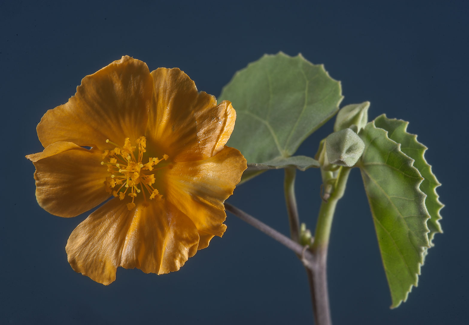 Flower of Texas Indian-mallow (Abutilon...Al Magdah farms. North-western Qatar