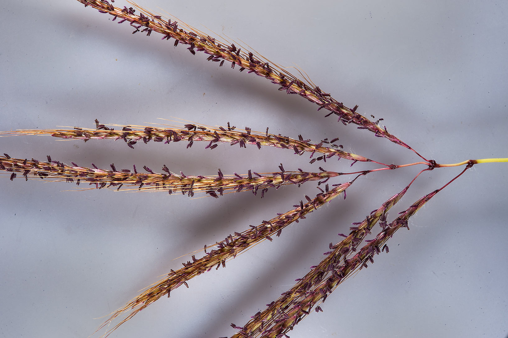 Close up of Hindi grass (Diaz bluestem...St. in Al Lejbailat area. Doha, Qatar