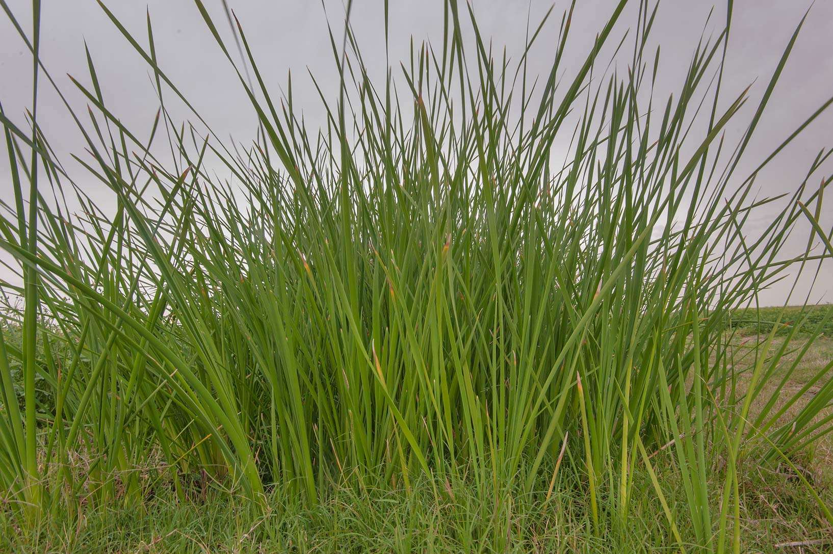 Tall grass southern cattail (Typha domingensis...in Irkhaya (Irkaya) Farms. Qatar