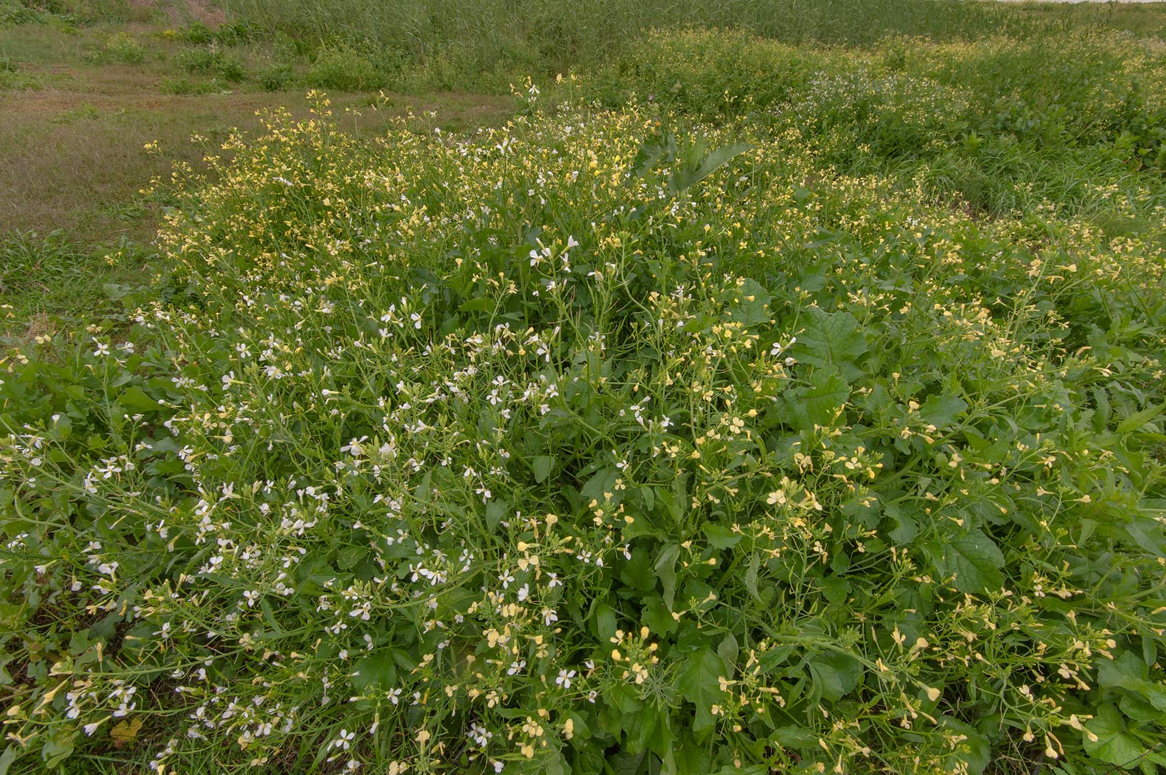 Blooming rapeseed (Brassica napus) on Green...in Irkhaya (Irkaya) Farms. Qatar