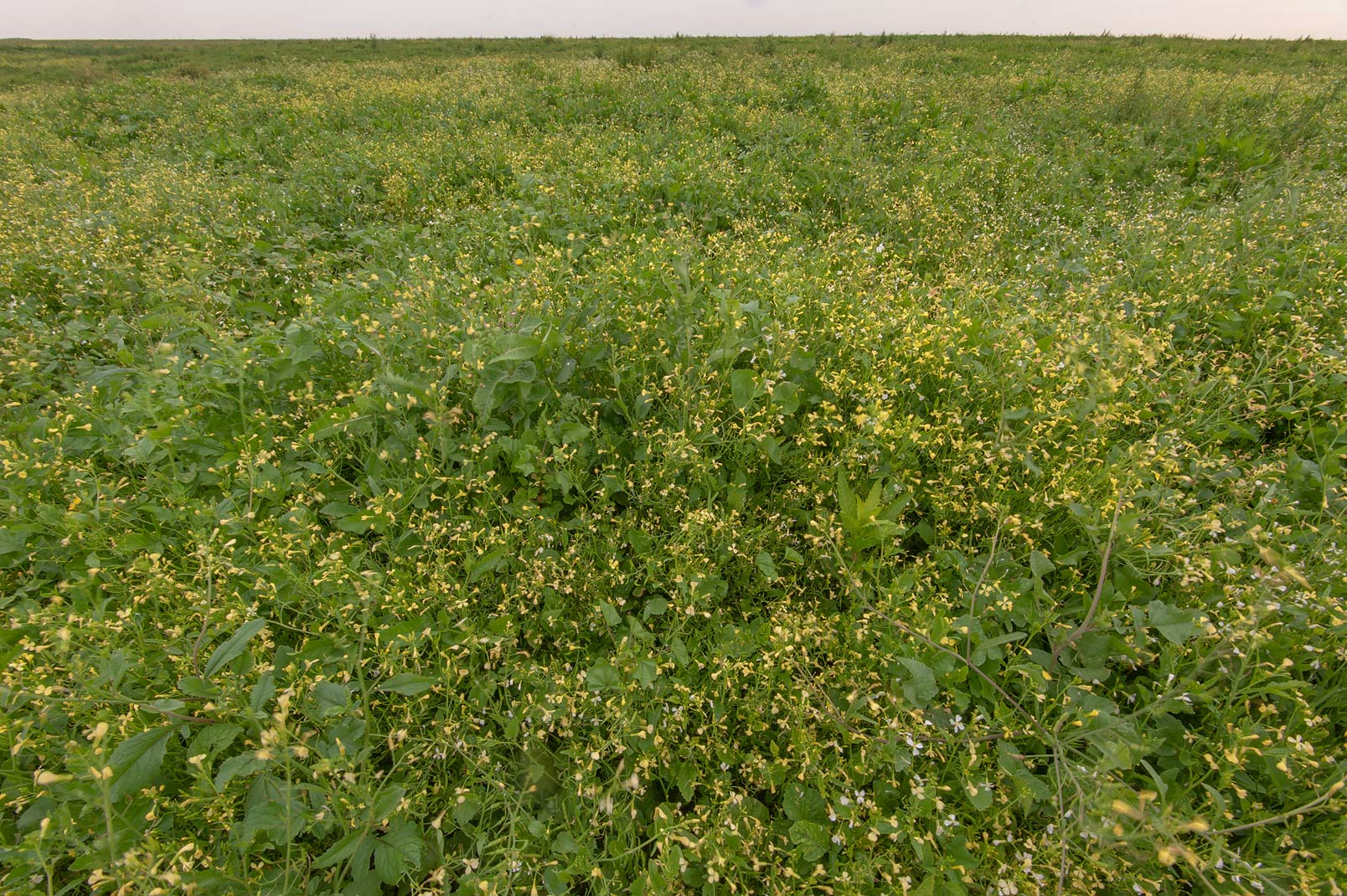Masses of blooming rapeseed (Brassica napus) on...in Irkhaya (Irkaya) Farms. Qatar