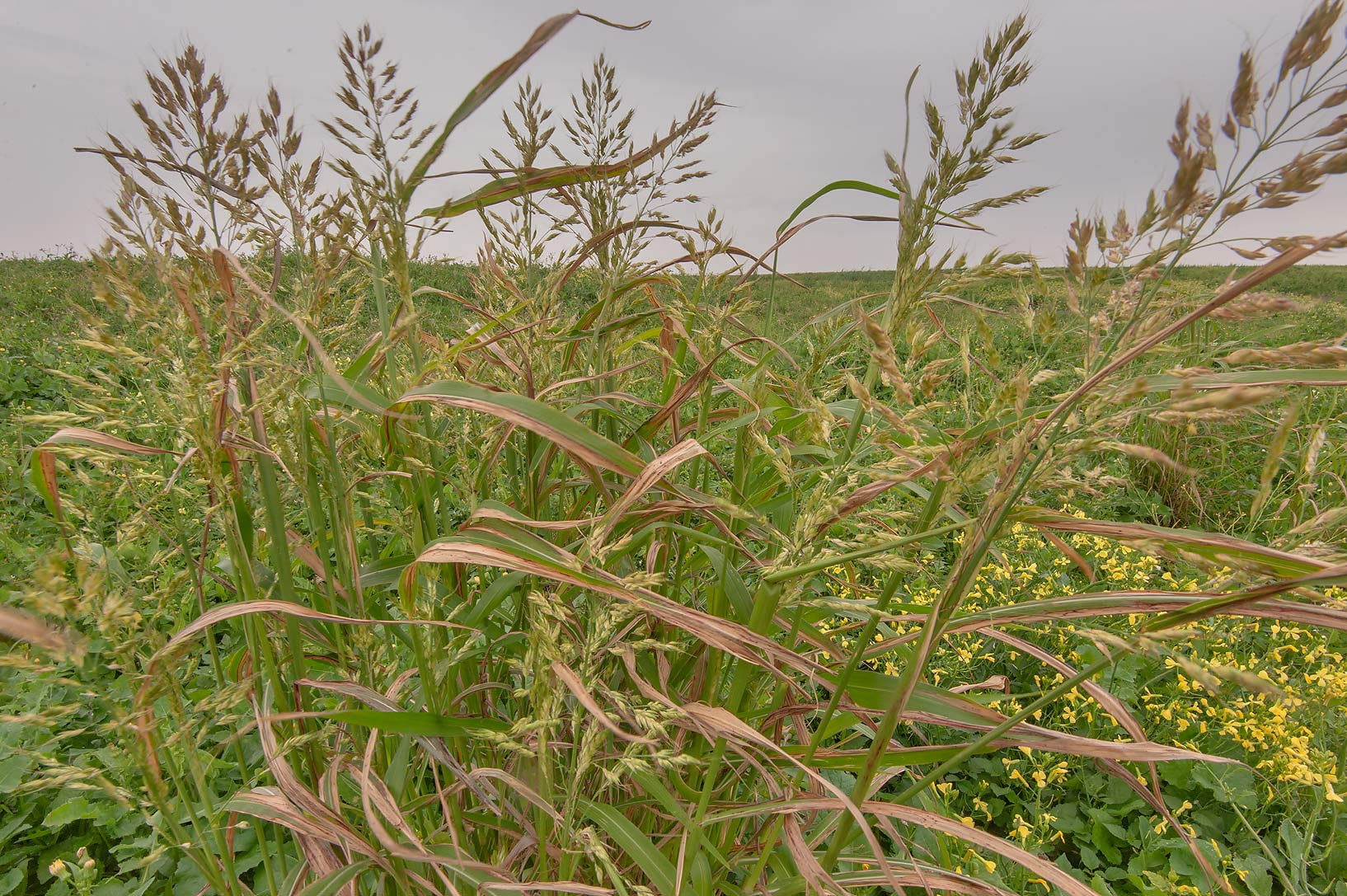 Johnson grass (Sorghum halepense) on Green...in Irkhaya (Irkaya) Farms. Qatar