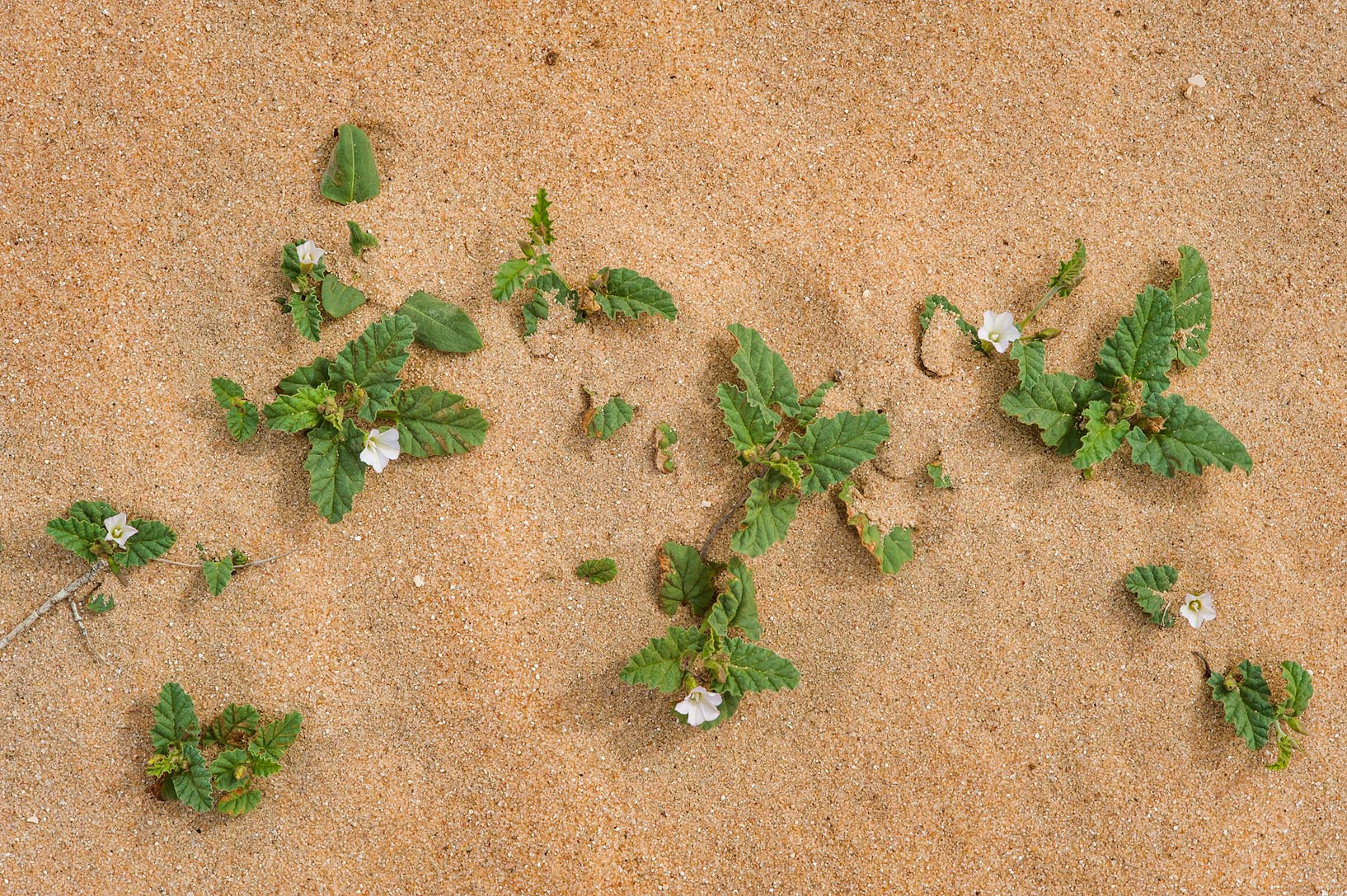 Blooming bindweed (Convolvulus fatmensis) in...in area of Khashem Al Nekhsh. Qatar