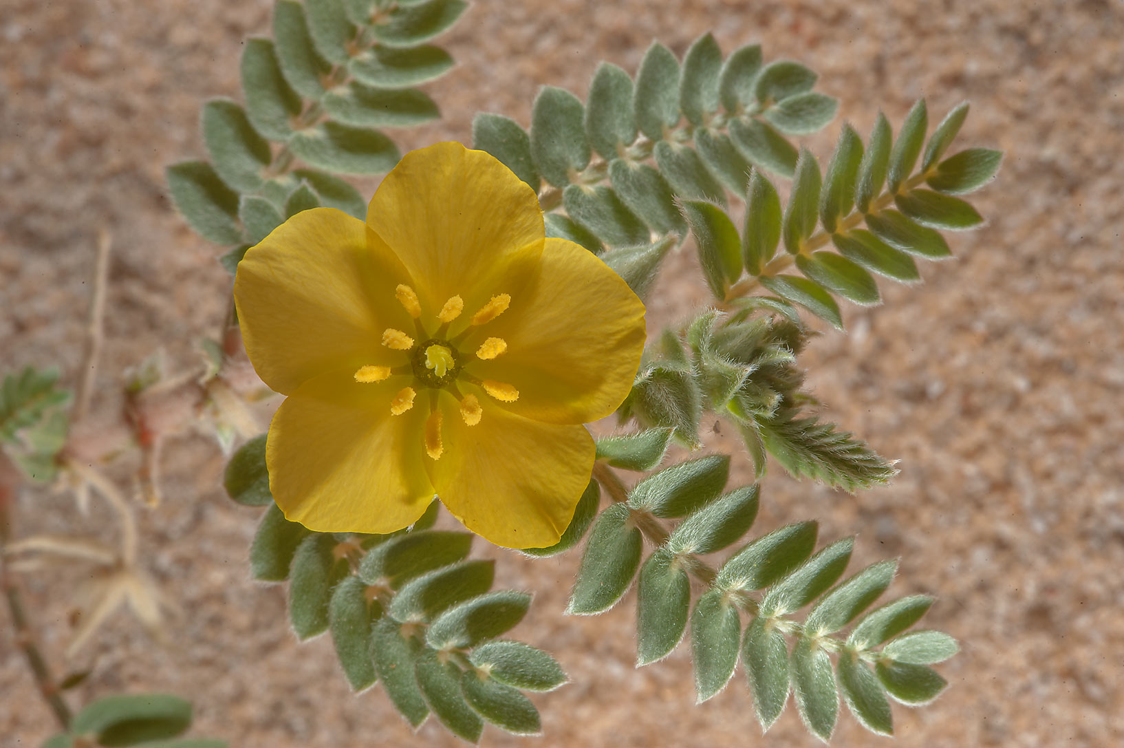 Tribulus macropterus var. arabicus with a yellow...Reserve near Abu Samra. Southern Qatar