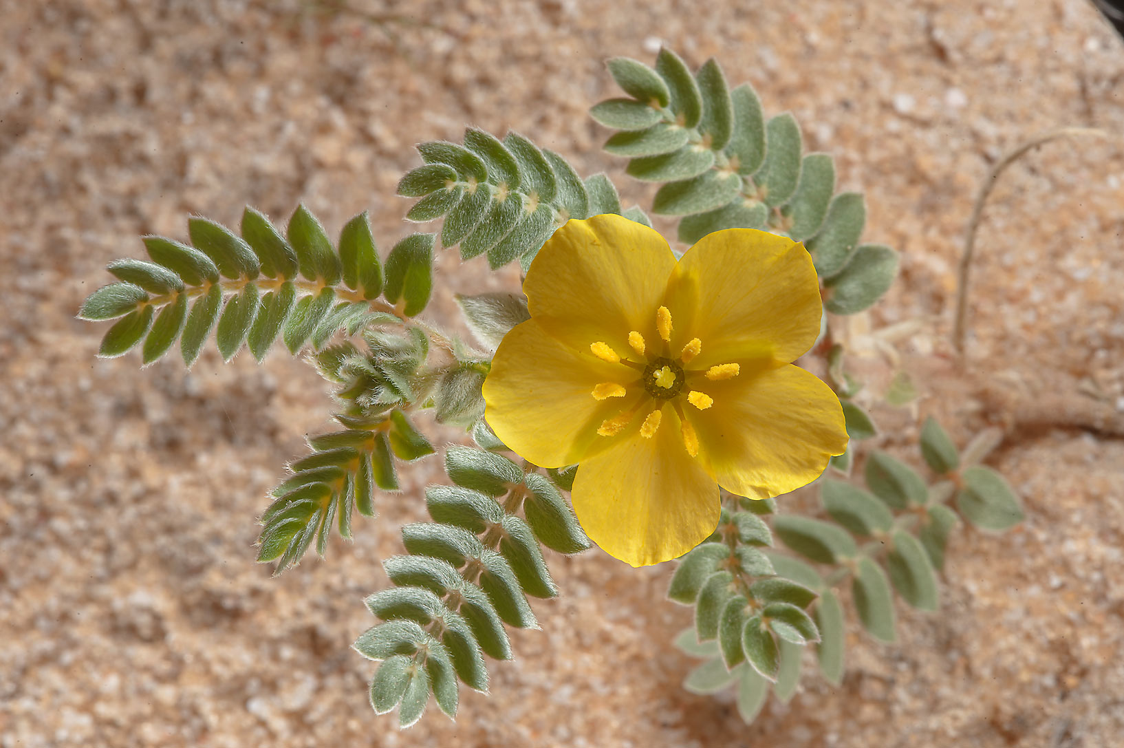 Blooming shoot of Tribulus macropterus var...Reserve near Abu Samra. Southern Qatar