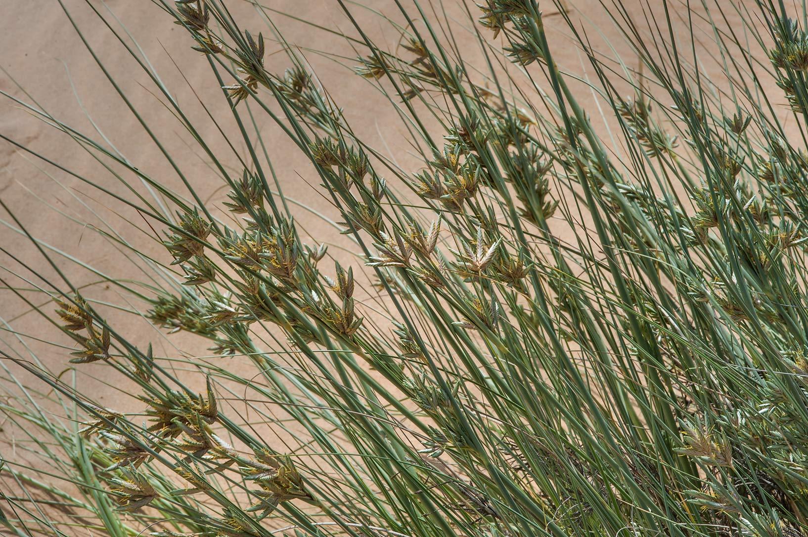 photo 157603 sedge cyperus conglomeratus in windblown