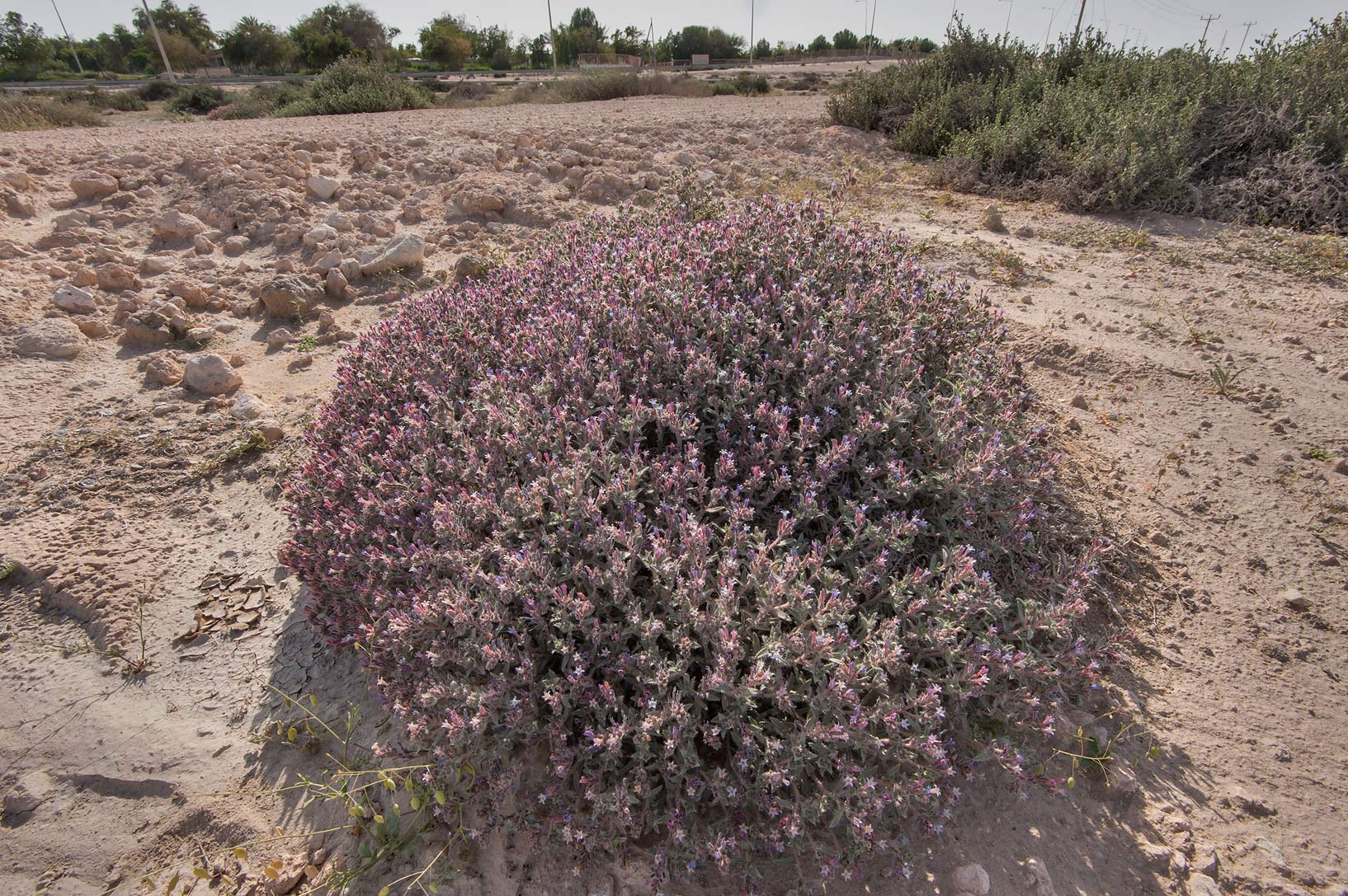 Dense blooming bush of Moltkiopsis ciliata...near Umm Bab in south-western Qatar