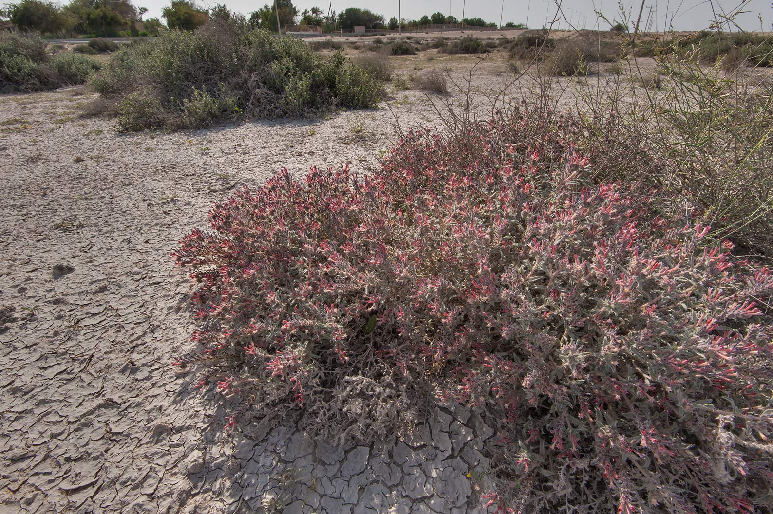 Bush of Moltkiopsis ciliata (Lithospermum...near Umm Bab in south-western Qatar