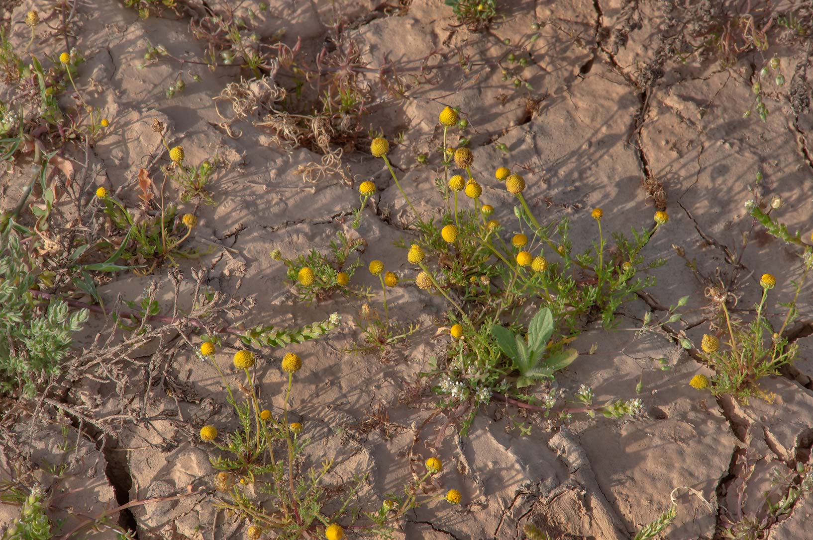 Golden chamomile (Matricaria aurea) in a silty...of Al Magdah farms. Northern Qatar