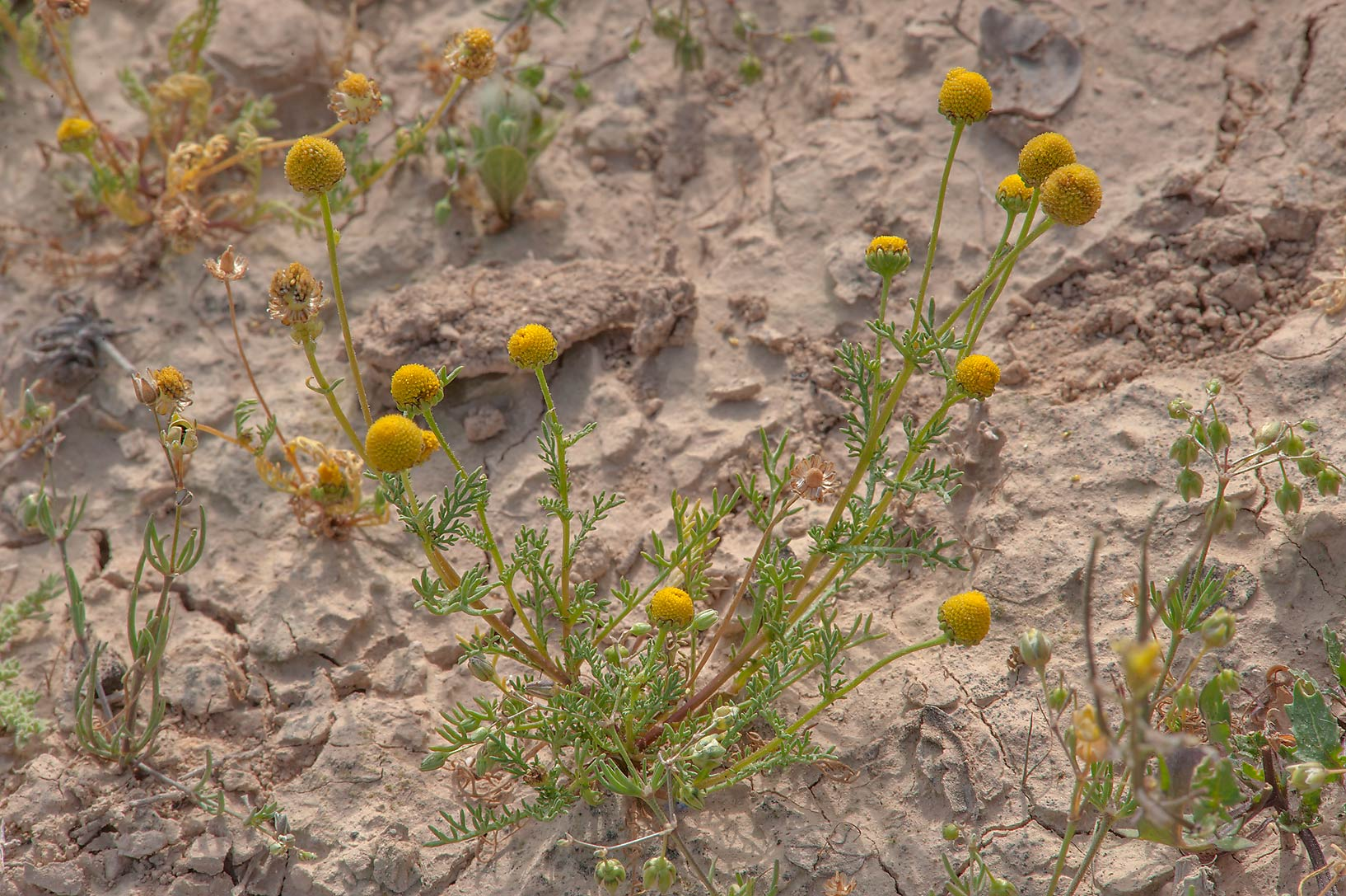 Blooming golden chamomile (Matricaria aurea) in a...of Al Magdah farms. Northern Qatar