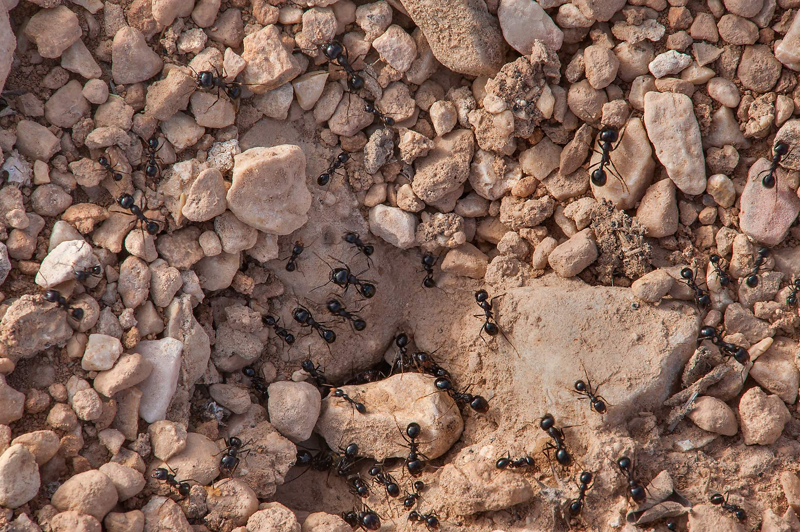 Gravel ant hill in a silty depression near a road...of Al Magdah farms. Northern Qatar