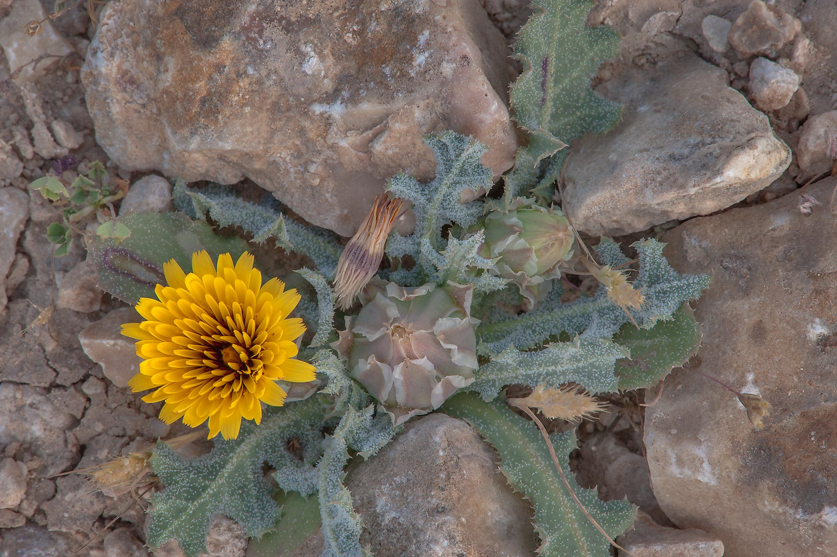 Blooming plant of false sowthistle (Reichardia...of Al Magdah farms. Northern Qatar