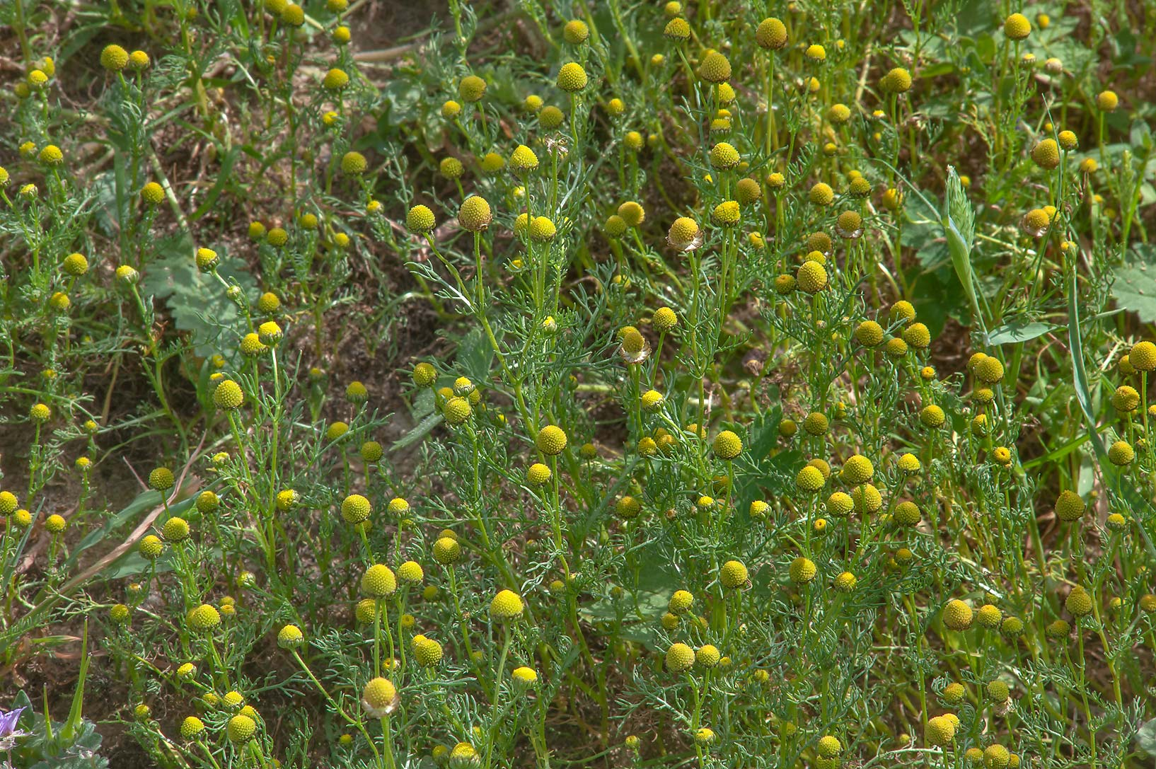 Flower heads of golden chamomile (Matricaria...near Al Zubara Rd.. Northern Qatar