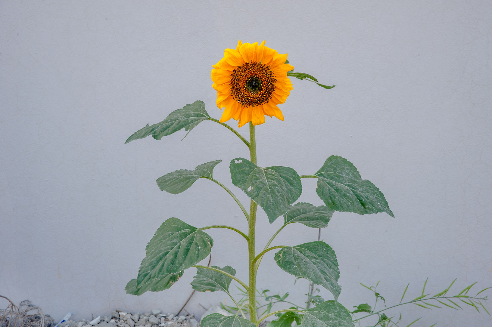 Common sunflower (Helianthus annuus) on roadside...in Um Lekhba neighborhood. Doha, Qatar