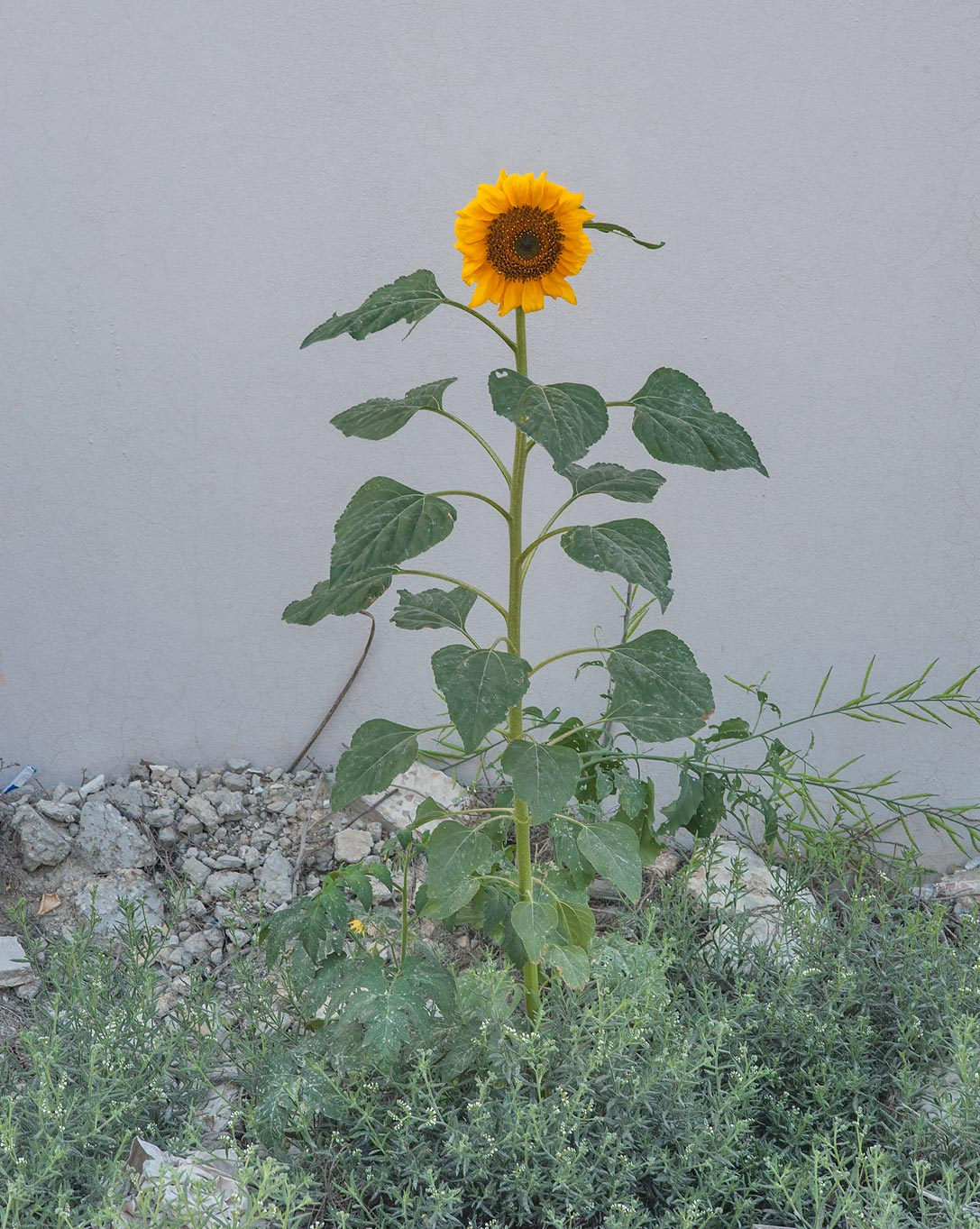 Blooming common sunflower (Helianthus annuus) on...in Um Lekhba neighborhood. Doha, Qatar