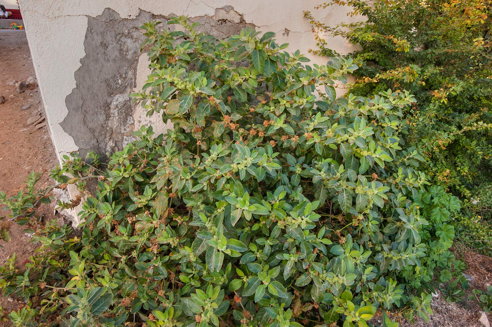 Large bush of Ashwagandha plant (Withania...St. in Al Lejbailat area. Doha, Qatar