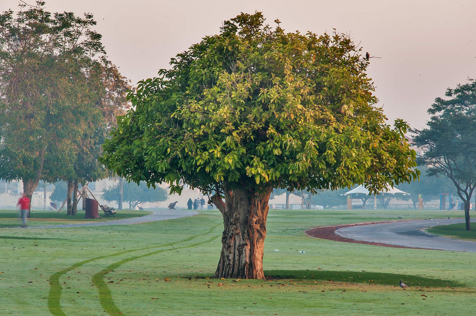 Fig tree (Ficus altissima) in Aspire Park. Doha, Qatar