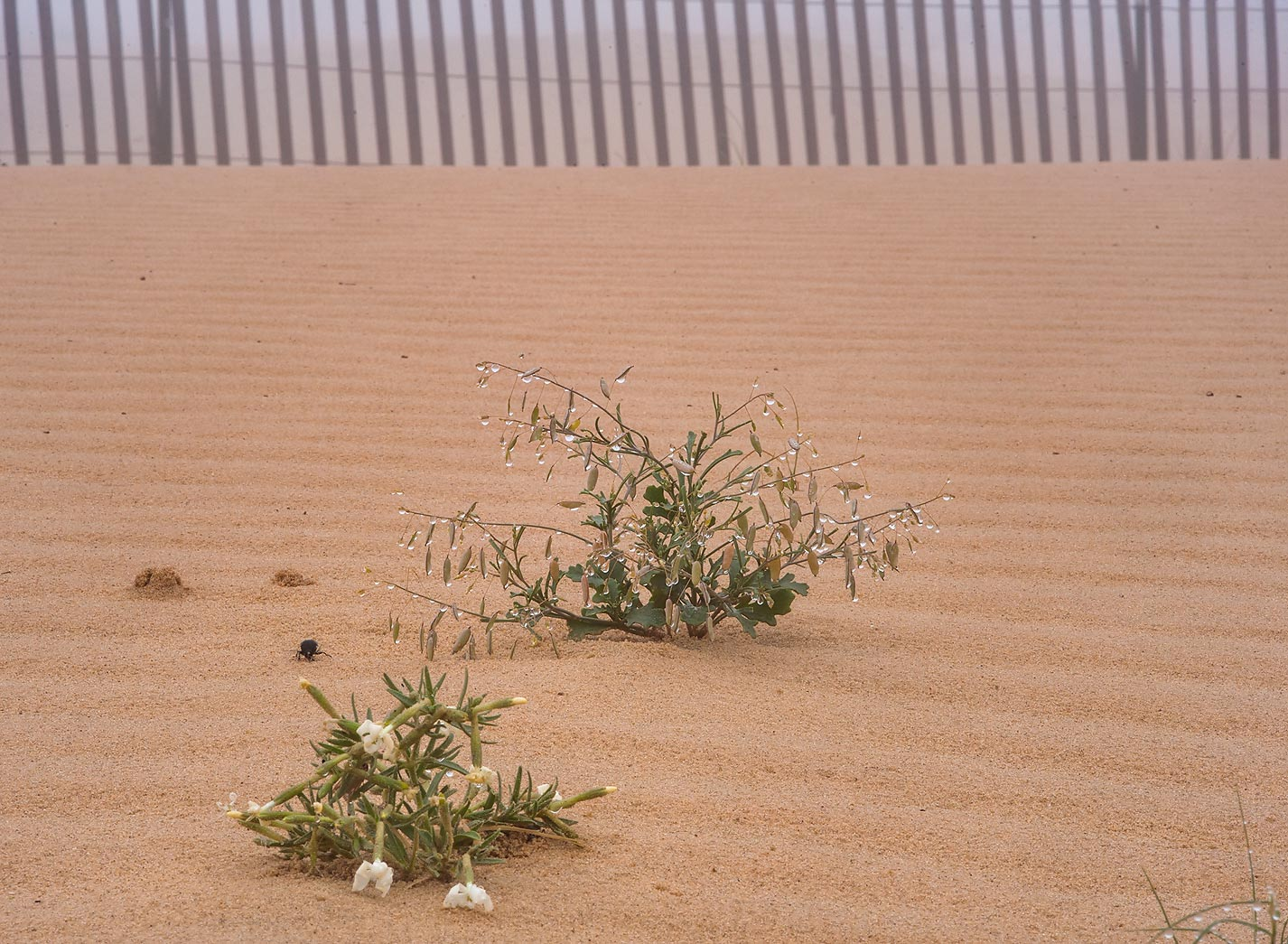 Plants in windblown sand on roadside of Salwa Rd...of Khashem Al Nekhsh. Southern Qatar