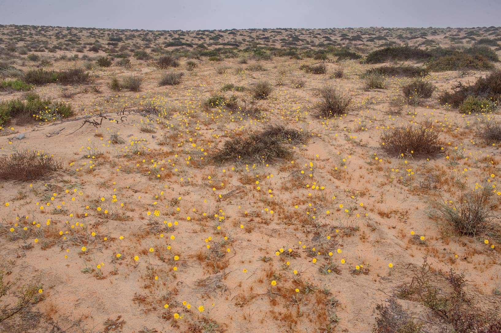 Sand dunes covered by flowers of Launaea...Reserve near Abu Samra. Southern Qatar
