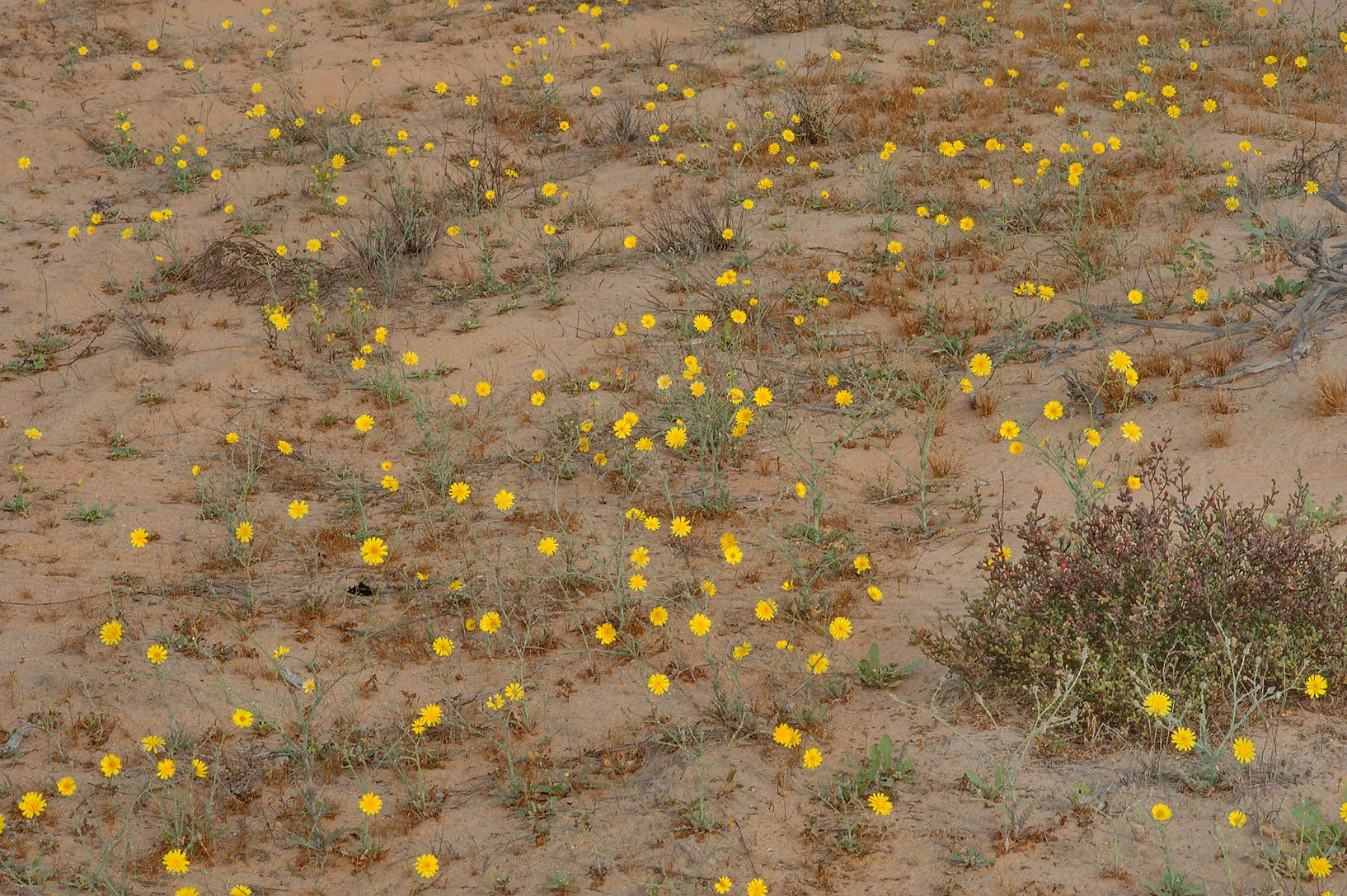 Masses of yellow flowers of Launaea mucronata...Reserve near Abu Samra. Southern Qatar