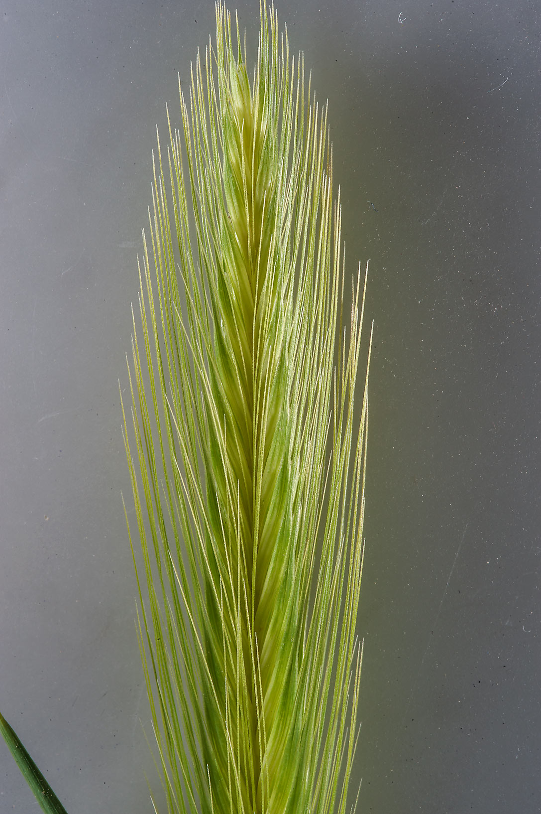 Spike of grass false barley (Hordeum murinum) in a depression in Al Harrarah. Qatar
