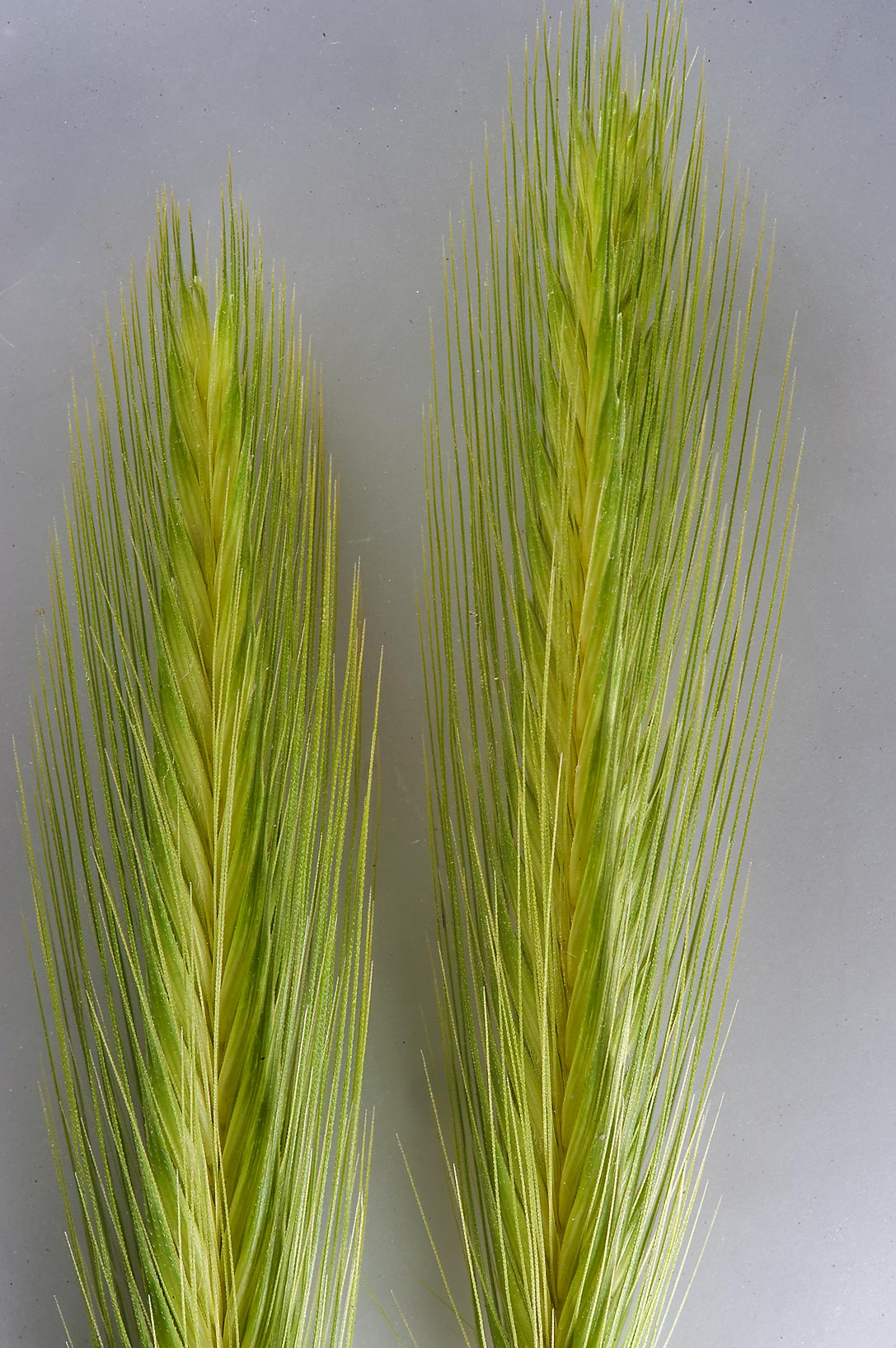 Spikes of grass false barley (Hordeum murinum) in a depression in Al Harrarah. Qatar