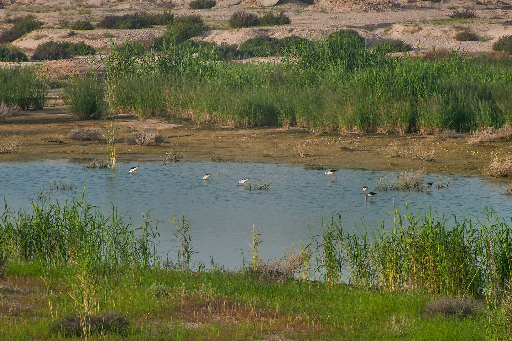 Wading birds in a pond outside of Green Circles...Irkaya) Farms. South-western Qatar